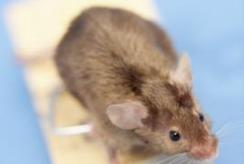 Scent repellants such as cedar do not work on mice.