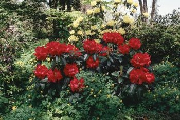 Rhododendrons are a member of the Ericaceae or Heath family.