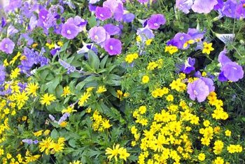 Trailing petunia adds color to gardens from spring until frost, where applicable.