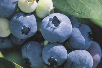 Avoid the use of pesticides on blueberries through monitoring and cultural practices.