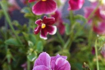 Pansies are available in many colors, including white, yellow, pink and purple.