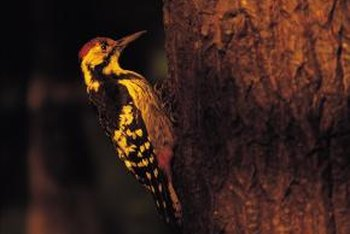 The yellow bellied sapsucker is a type of woodpecker.