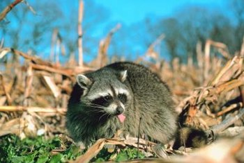A raccoon will eat almost anything.