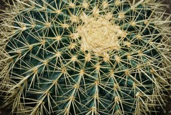 Barrel cactuses can turn yellow from too much sun.