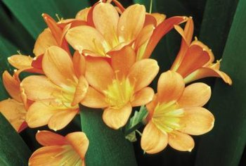 Clivia blooms in late winter and early spring.