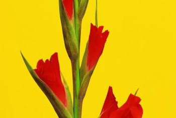 Spikes of funnel-shaped flowers are characteristic of gladiolus.