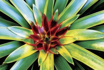 Bromeliads can produce colorful foliage, although flowering is often infrequent.
