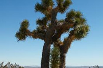 Joshua tree is a characteristic plant of the Mojave Desert.