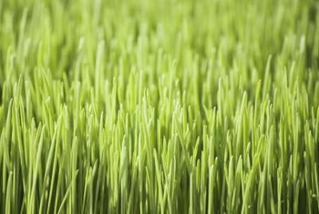 Enhance your wheatgrass crop with seaweed fertilizer.