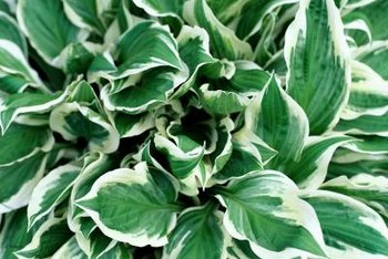 Hostas cover a lot of ground preferring wet soil and shade.