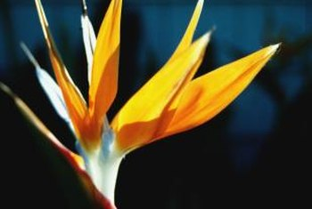 The bird of paradise adds a tropical look to your yard.