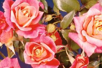 Climbing bi-colored roses take garden color to new heights.