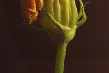 Squash blooms are yellow or orange and larger than cucumber blooms.
