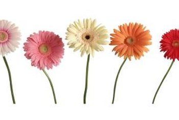 Gerbera daisies are as pet-friendly as they come.