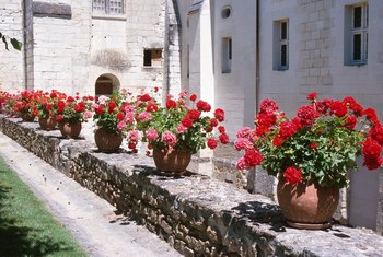 Geraniums growing in pots are brought indoors in areas where the temperature drops below freezing.