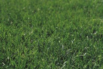 Bermudagrass is used on lawns and athletic fields.