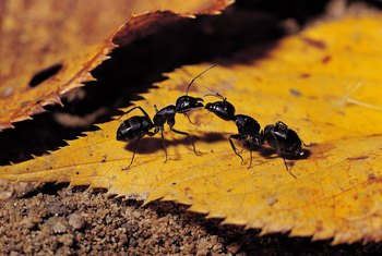 Ants transfer food to each other, sharing your boric acid poison mixture.
