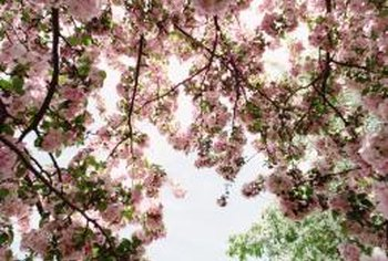 Blooming cherry trees add interest to any landscape.
