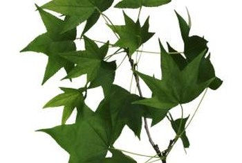 Fan-shaped red oak leaves have pointed tips.