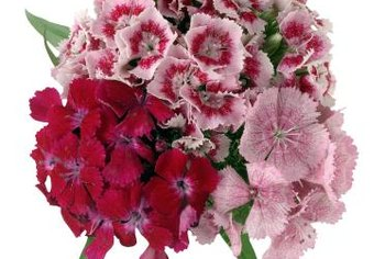 Many dianthus species and cultivars are pink or purple.