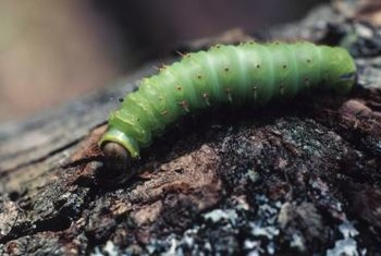 Caterpillars have a voracious appetite for leaves.