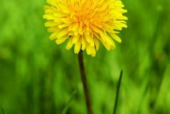 Dandelions grow year-round in warm climates.