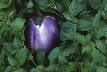 Eggplant crops grow on bushy plants that require hot weather to produce.