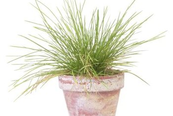 Harvesting chives frequently encourages healthy, abundant growth.
