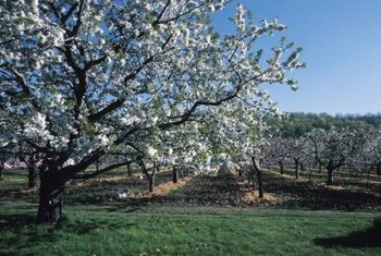 Borers do not attack healthy, vigorous fruit trees.