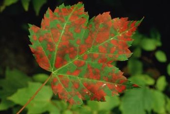 Brown Spots On Maple Leaves May Indicate Trouble Ahead