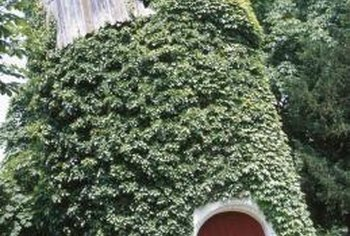 Creeping fig can climb a variety of surfaces.