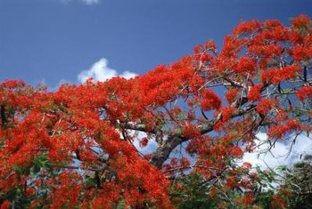The royal poinciana is sometimes called the flame tree or flamboyant tree because of its intense color when in bloom.