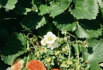 Strawberries grow runners to generate more fruits in a spreading garden patch.