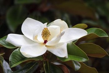 Southern magnolia is the state tree of Mississippi.