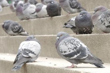 How To Keep Pigeons Out Of Your Plants. Pigeons Will Eat Almost Anything,  Including Garbage.