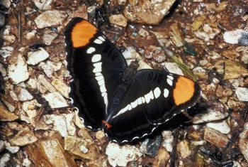 The California sister butterfly lays its eggs exclusively on oak trees.