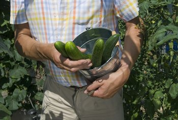 Forget fancy growing systems -- a plastic bucket can yield quality cukes.