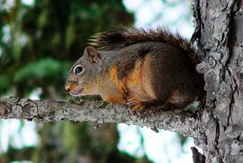 Squirrels nest in tree cavities about 15 feet above the ground.