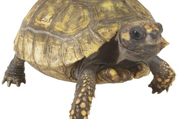 Lose weight like a tortoise wins a race: slow and steady.
