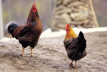 Chickens provide valuable fertilizer as well as meat and eggs.