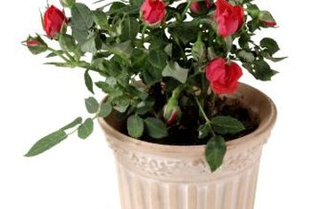 Prune potted roses so they are in scale with the container.