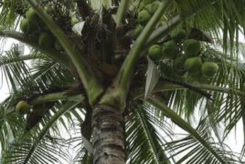 Dwarf coconut palms may grow 30 feet or taller.