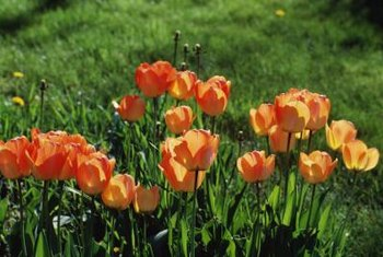 Plant tulips in drifts, formal gardens or borders to brighten the spring garden.
