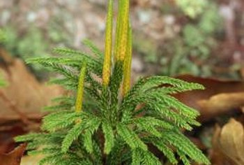 Rust infections may infect pine trees at any stage of growth.