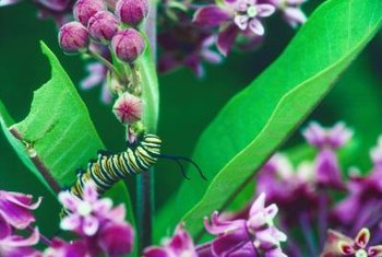 Caterpillars eat the leaves of specific host plants.