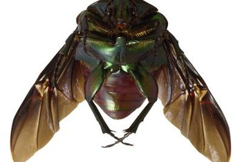 Green June beetles have strong flying wings beneath their wing covers.