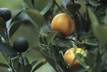 A healthy navel orange tree's richly green leaves accent its bright orange fruits.