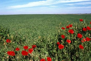 Poppies reseed naturally after the first growing season.