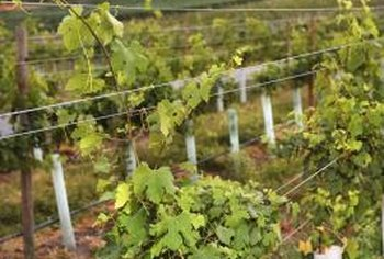 Proper use of grow tubes helps vines produce more quickly.