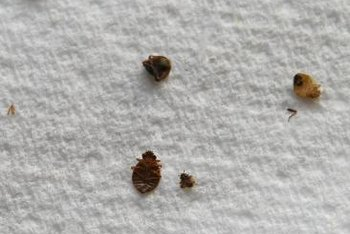 Adult bed bugs are as big as apple seeds.